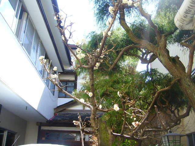 鮱武旅館、中庭の梅ノ木。。