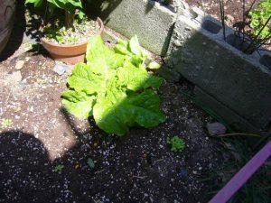 家庭菜園 レタス