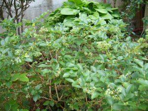 家庭菜園 ブルーベリー