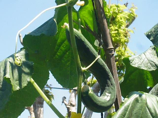 本日の収穫、環境に合わせて育ちましょう。。