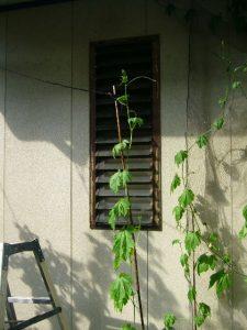 家庭菜園 ゴーヤ