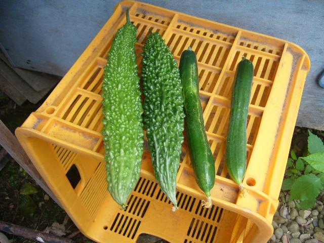 家庭菜園、今。ゴーヤ初収穫です。。