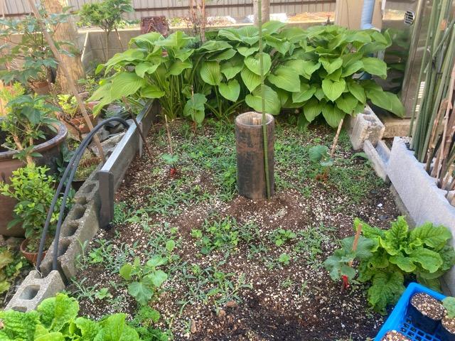 家庭菜園、きゅうり