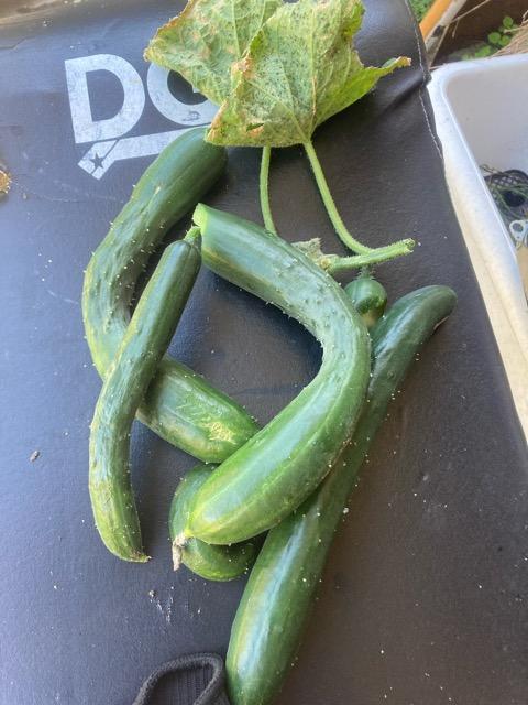 本日の家庭菜園、最後の収穫です。。